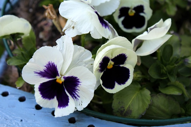 pansy2